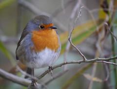 Robin (Erithacus rubecula), Leighton Moss RSPB Reserve (Niall Corbet) Tags: england lancashire leightonmoss rspb naturereserve robin erithacusrubecula