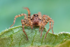 Wolfie (CJH Natural) Tags: wolfspider wolfspinnen lycosidae spider spinner arachnid leaf green macro makro eyes optics hairs hunter predator