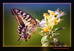 Papallona reina en lligabosc (Papilio Machaon, Lonicera caprifolium) Swallowtail on Perfoliate Honeysuckle (L'Ullal de Baldoví, Sueca, la Ribera Baixa, València, Spain) (Rafel Ferrandis) Tags: macro papiliomachaon papallona lligabosc eos7dmkii sigma150600contemporary sueca marjal