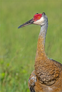 Sandhill Crane W/Growths/Tumors