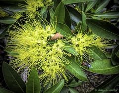 Golden Penda (Xanthostemon chrysanthus) ...... and fly (Aussie~mobs) Tags: flower yellow pompom fly goldenpenda brisbane queensland australia xanthostemonchrysanthus aussiemobs