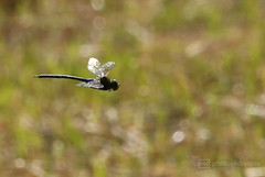 dragonfly in flight (photos4dreams) Tags: gersprenz münster hessen germany naturschutz nabu naturschutzgebiet photos4dreams p4d photos4dreamz nature river bach flus susannahvictoriavergau susannahvvergau eventphotos4dreams canoneos5dmarkiii canoneos5dmark3 libelle dragonfly