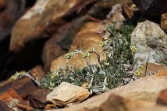 incroyable nature (bulbocode909) Tags: valais suisse arolla valdhérens hautglacierdarolla fleurs nature montagnes rochers vert jaune génépis