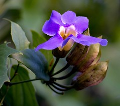sky-vine (hodad66) Tags: meyeroptik blooms florida meyer optik gorlitz orestor 13528