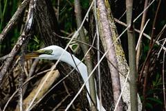 2017 Great Egret 4 (DrLensCap) Tags: great egret strooks ditch ledge road horicon marsh national wildlife refuge waupun wisconsin wi bird heron robert kramer