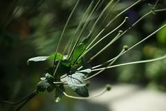 DSC04536- Fine Lines (oliveplum) Tags: leaves flowerdome gardensbythebay light minoltarokkorf1450mm greenery singapore sony bokeh