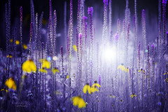 *** (mariola aga) Tags: summer meadow grassland plants flowers wildflowers colorbalance neverland dreams art coth alittlebeauty coth5