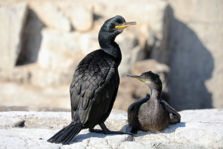 European shag with young chick, Farne Islands