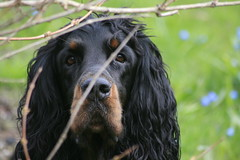 Külitse 2018 267 (reimo.zoober) Tags: gordon setter dog
