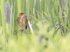 Least Bittern (AmandaWilmarth) Tags: nature birding birdwatching newhampshire canon marsh breeding explore kayaking bittern leastbittern reed