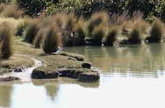 Pied Stilt - so dainty! (christineNZ2017) Tags: ambury regional park amburypark birdsanctuary birdlife bird sanctuary southauckland auckland newzealand winter piedstilt stilt pied blackandwhitebird