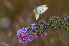 cabbage white flight (Paul Wrights Reserved) Tags: butterfly butterflies butterflyinflight insect inflight insects insectinflight flying flight flyingbutterfly wings beautiful bokeh botanical flower flowers wildlife wildflowers macro macrophotography