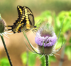 Tight Landing Zone (Portraying Life, LLC) Tags: dbg6 hd14tc k1mkii michigan pentax ricoh unitedstates butterfly closecrop handheld nativelighting meadow thistle teasel flower nectar