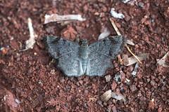 Antigonus erosus (fabriciodo2) Tags: antigonuserosus butterfly mariposa papillon macro nature sigma150 mexique uxmal