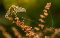 Common Darter - Sympetrum striolatum (frattonparker) Tags: btonner bokeh isleofwight lightroom6 nikond610 raw tamron28300mm frattonparker dragonfly walterscopse newtown
