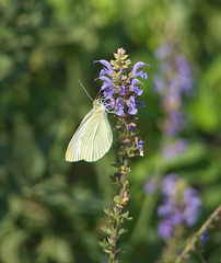 Cabbage White Butterfly (mmorriso2002) Tags: cabbagewhite butterfly sage flower