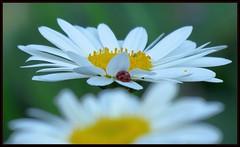 IMG_7712 Diverse Neighborhood 6-30-18 (arkansas traveler) Tags: daisy flowers ladybug bichos bugs insects aphid zoom telephoto nature naturewatcher natureartphotography bokeh bokehlicious