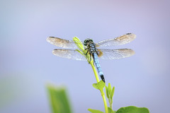Edit-132.jpg (norasphotos4u) Tags: flowersplants topazedit dragondamselfly insects canon7dmkii social flickr canonef100400f4556iiusm