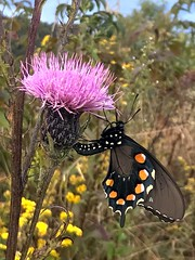 Butterfly on Thistle (esywlkr) Tags: butterfly thistle wildflower nature pisgahnationalforest haywoodcounty northcarolina