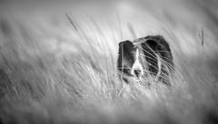 Savanna Eyes (JJFET) Tags: boder collie dog sheepdog herding
