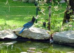 Stellar's Jay (arrowlakelass) Tags: blue jay bird p1220382edit
