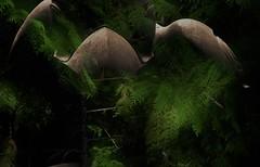 the raw material of chaos (RhinoSkin) Tags: fusion doubleexposure cedar raven