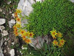 Planinsko cvetje / Mountain flowers (Damijan P.) Tags: hribi gore mountains hiking slovenija slovenia ksa kamniškosavinsjkealpe kamniksavinjaalps velikivrh velikazelenica križevnik prosenak