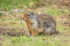 Columbian Ground Squirrel 501_1860.jpg (Mobile Lynn) Tags: columbiangroundsquirrel rodents groundsquirrel squirrel nature fauna mammal mammals rodent rodentia urocitelluscolumbianus wildlife massive alberta canada ca coth specanimal coth5