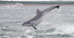 BND Dolphin (S breaching)-1395 (David Jefferson Photo) Tags: bottlenose dolphin flight breach chanonry point fortrose inverness cetacean dolphins whales marine sealife sea ocean highlands scotland wildlife moray firth