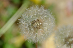 2018-05-08 (6) dandelion seed dispersion (JLeeFleenor) Tags: photos photography md maryland bowie bowiemd outside outdoors flowers flora dandelion