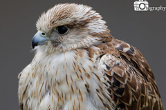 Saker Falcon (Mike House Photography) Tags: bird prey falcon eagle hawk talons beak wings flying flight fly yellow green brown white eyes sharp meat eater tail tips conservation wildlife animal photography