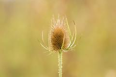 Teasel (Future-Echoes) Tags: 2018 bokeh depthoffield dof nature plant project52 teasel