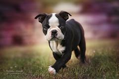 Joy (Cristina Laugero) Tags: cucciolo puppy cane dog bostonterrier