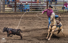 Calf Roping (allentimothy1947) Tags: 2018 duncanmills saddle areana calf competition cowboy danger dire hat horses jeans lassoo riders rodeo rope roping russianriverrode skill 5079 luminar2018 duncan mills barrel racing bucking bulls cowgirls russian river rode sturp