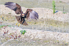 Marsh Harrier Juv. (fausto.deseri) Tags: marshharrier circusaeruginosus falcodipalude wildlife birds nature wildanimals tivolimanzolino nikond500 nikkor300mmf28afsii nikontc17eii faustodeseri