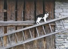 Catwalk (evakatharina12) Tags: cat animal pet barn ladder randa wallis valais switzerland suisse schweiz