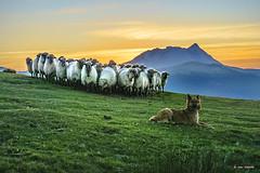 Atento (Jabi Artaraz) Tags: saibi anboto perro pastor ovejas mouton sheep rebaño montaña mendia nature animal