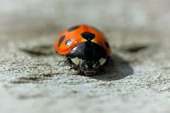11-spot ladybird (Pog's pix) Tags: ladybird ladybug red black spots macro detail closeup 11spot 11spotladybird highmagnification nature wildlife insect beetle coleoptera outdoors outdoor outside mpe65mm stcyrus aberdeenshire scotland coccinella11punctata coccinella c11punctata
