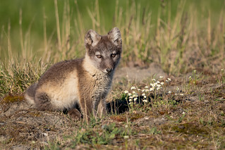 Arctic Fox Kit with Flowers