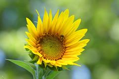 Just Working In The Sun - Flower (Modkuse) Tags: fujifilmxt2provia bee tinybee flower sunflower yellow nature natural wildlife creature fujifilm fujifilmxt2 xt2 xf55200mmf3548rlmois zoomlens art photoart colors colorful