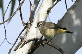 Yellow Rumped Thornbill
