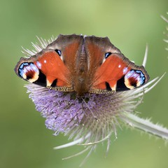 Peacock (digiphill) Tags: 2018 aglaisio august butterfly druridgebay druridgeponds northeast northumberland northumberlandcoastaonb peacock summer insect beautifulearth
