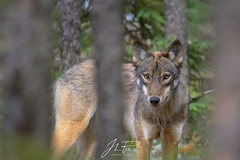Premier contact (jlf_photo) Tags: gray wolf loup gris quebec canada baie james