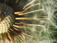 Dandelion Center Seeds Macro 2 of 2 (Orbmiser) Tags: olympusmscedm60mmf28 macro mirrorless olympus oregon portland m43rds dandelion seeds tannersprings