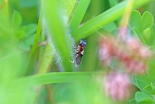 Grapholita compositella, Hodbarrow, Cumbria, England