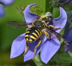 The Attraction Of Purple (Vidterry) Tags: bee pollination nikkor200mmmicrolens