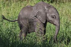 Let Me Have A Future ! (AnyMotion) Tags: worldelephantday 12august2018 africanelephant afrikanischerelefant loxodontaafricana elephant elefant baby calf 2018 anymotion tarangirenationalpark tanzania tansania africa afrika travel reisen animal animals tiere nature natur wildlife 7d2 canoneos7dmarkii ngc npc