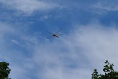 WANDERING GLIDER DRAGONFLY...SUMMIT COUNTY, OHIO (fstopfinatic) Tags: panasonicfz1000 nature outdoor summitcountyohio akronohio dragonfly odonata snakedoctor perch insect wings glossy inflight lake pond bog marsh swamp
