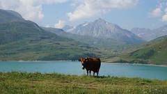 La vache du Mont Cenis (passionpapillon) Tags: paysage montagne lac montcenis hautemaurienne passionpapillon 2018