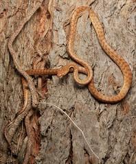 Juvenile Brown Tree Snake (Mitch Thorburn) Tags: brown tree snake boiga irregularis
